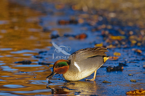 Green-winged Teal (Anas Crecca) drake.   Winter.  Pacific Northwest.