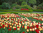 Shore Acres State Park, OR<br /> Spring flowering tulips (red flowering - Oxford and yellow flowering - Bleeding Heart) in one of the fromal garden beds in Shore Acres Gardens