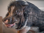 1.30.13 - Happy Pig....