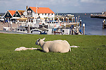 Sheep on grassy dyke, Oudeschild Harbour, Texel, Netherlands