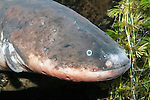 electric eel, close-up of face