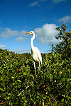 Florida: Everglades Natl Park.   Great White Heron.  Photo #:  flever104..Photo copyright Lee Foster, 510/549-2202, lee@fostertravel.com, www.fostertravel.com