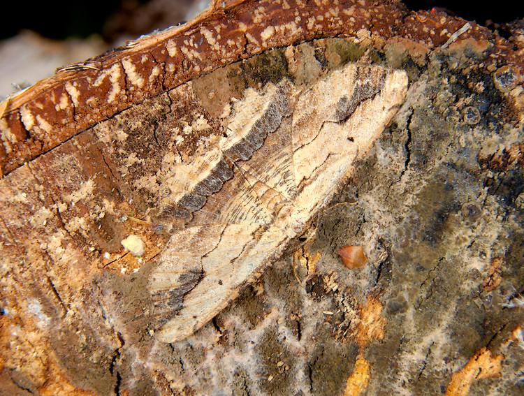 Waved Umber Menophra abruptaria Wingspan 40mm. A beautifully patterned moth whose wing markings recall wood grain. Rests with wings spread flat. Adult has buffish-white wings marked with horizontal dark lines and bands. Flies April-June. Larva feeds on Lilac and Garden Privet. Widespread but commonest in southern Britain.