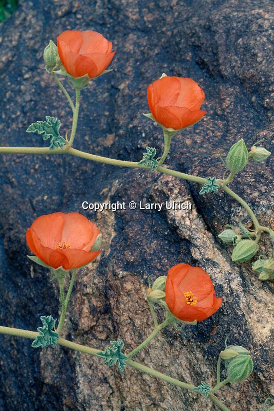 Apricot mallow<br /> Pinto Basin<br /> Joshua Tree National Park<br /> Mojave Desert,  California