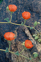Apricot mallow<br />