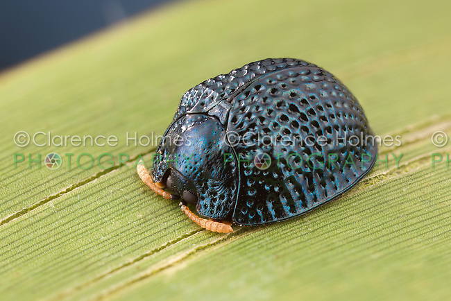 A Palmetto Tortoise Beetle (Hemisphaerota cyanea) perches on a Saw Palmetto leaf in Highlands Hammock State Park, Sebring, Florida.