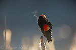 Red-winged Blackbird (Agelaius phoeniceus) male displaying in cattail marsh, breath visible on cold morning, backlighting, Ithaca, New York, USA