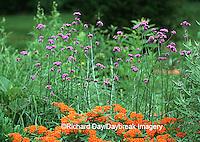 63821-159.13 Butterfly Milkweed (Asclepias tuberosa) & Brazilian Verbena (Verbena bonariensis) Marion Co. IL