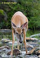 MA11-557z  Northern (Woodland) White-tailed Deer eating pond plants, Odocoileus virginianus borealis