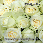Gisela, FLOWERS, BLUMEN, FLORES, photos+++++,DTGK2457,#f#, EVERYDAY ,roses