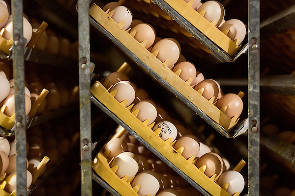 "July 24, 2015. Candor, North Carolina.<br />  After arrival, the eggs are quickly put into large incubators, or ""setters"". Each setter holds around 87,000 eggs, ranging from 0 days old, to 18.5 days old. The eggs are rotated once an hour to move the more mature eggs around the room, providing CO2 which helps the younger eggs.<br />  Chicken producer Perdue Farms Inc. has become the first major poultry company to attempt to raise more than half of its flock with no antibiotics, human or for animals only. As demand for meats free of medicines has risen, Perdue has upgraded their facilities to increase cleanliness and sterility to allow the company to cut antibiotics out of the chicken hatching process."