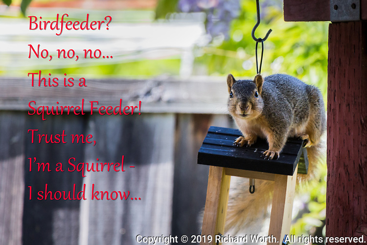 A fox squirrel caught helping itself to the bounty of a backyard birdfeeder begins its escape but pauses to assess just how much trouble it is in, and how rapidly it should depart.