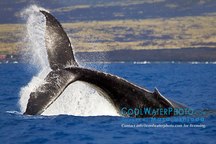 humpback whale, Megaptera novaeangliae, displaying a powerful peduncle throw, Hawaii, USA, Pacific Ocean
