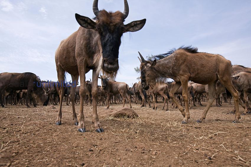 Eastern White-bearded Wildebeest herd on the move (Connochaetes taurinus), Masai Mara, Kenya.
