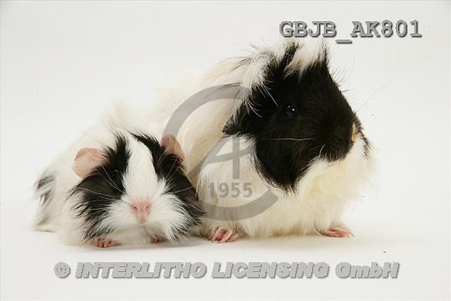 Kim, ANIMALS, fondless, photos(GBJBAK801,#A#) Tiere ohne Fond, animales sind fondo