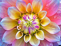 Close up of Dahlia variety Peaches and Dreams. Oregon
