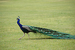 Male peacock walking