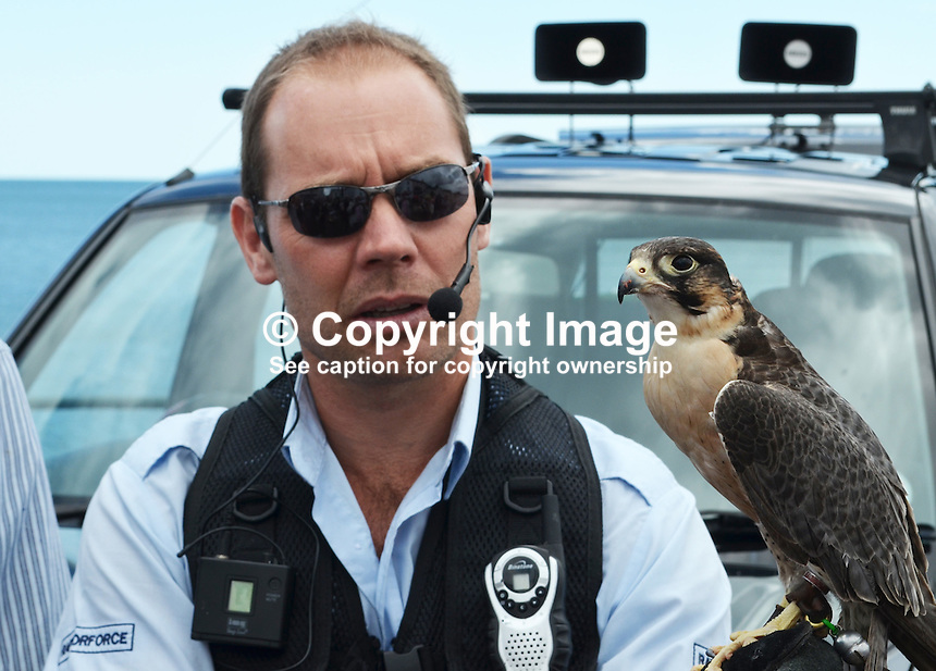 Raptorforce handler with peregrine falcon which he used in a pest control demonstration on the seafront at Sidmouth, Devon, on 8th July 2014. The pest in this case was seagulls. For more information go to www.raptorforce.com. 201407083390<br />