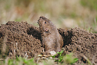 Attwater's Pocket Gopher (Geomys attwateri), adult looking out of burrow, Sinton, Corpus Christi, Coastal Bend, Texas, USA
