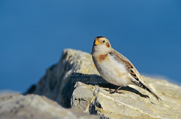 Snow Bunting, Plectrophenax nivalis, male winter plumage, Rheindelta, Germany, Europe..