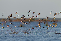Curlew sandpipers in flight over Lake Xau