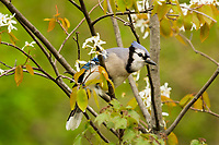 Blue Jay (Cyanocitta cristata) in flowering serviceberry bush.  Great Lakes Region.  May.