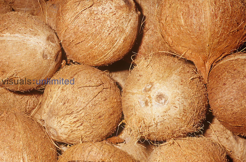 Coconut (Cocos nucifera) fruit, husk, native to Micronesia.
