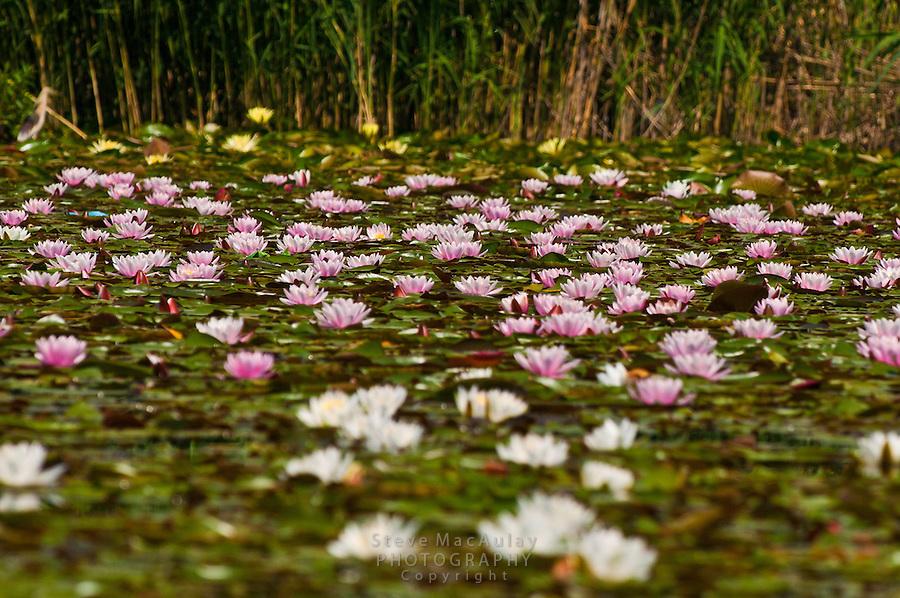 Pink and white water lilies, Dal Lake, Srinagar, Kashmir, India.