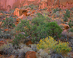Grand Staircase - Escalante National Monument, UT<br /> Yellow flowering rabbitbrush paired with a Pinyon Pine against the red cliffs in Long Canyon along the Burr Trail road
