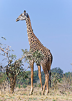 Thornycroft Giraffe, South Luangwa NP, Zambia