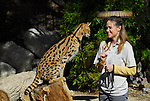 Serval cat and trainer at Living Desert Reserve