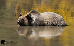 Grizzly bear laying in a shallow pond. Bridger-Teton National Forest, Wyoming.