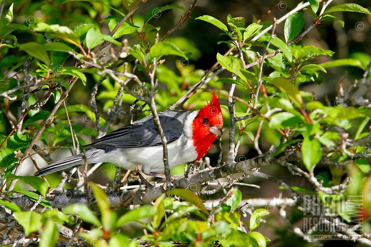 Red crested cardinal (Paroaria coronata) Introduce from Brazil. Found on Oahu, Kauai and Maui