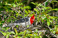 Red crested cardinal (Paroaria coronata) Introduce from Brazil. Found on Oahu, Kauai and Maui