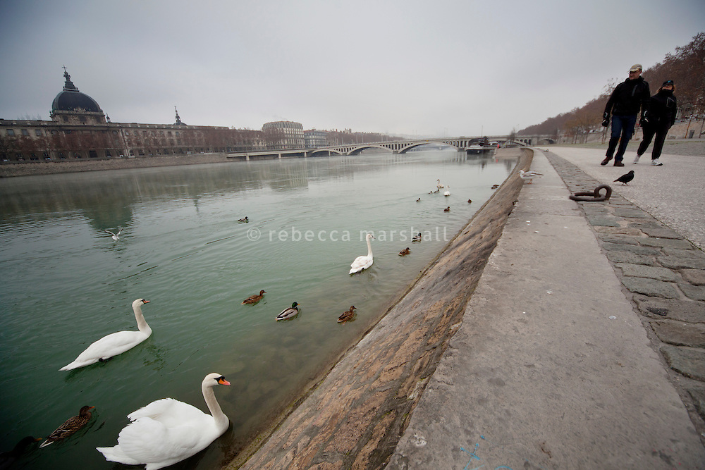 Swans, ducks and pigeons beside Quai Claude Bernard on the Rive Gauche of the Rhone river, Lyon, France, 15 January 2012