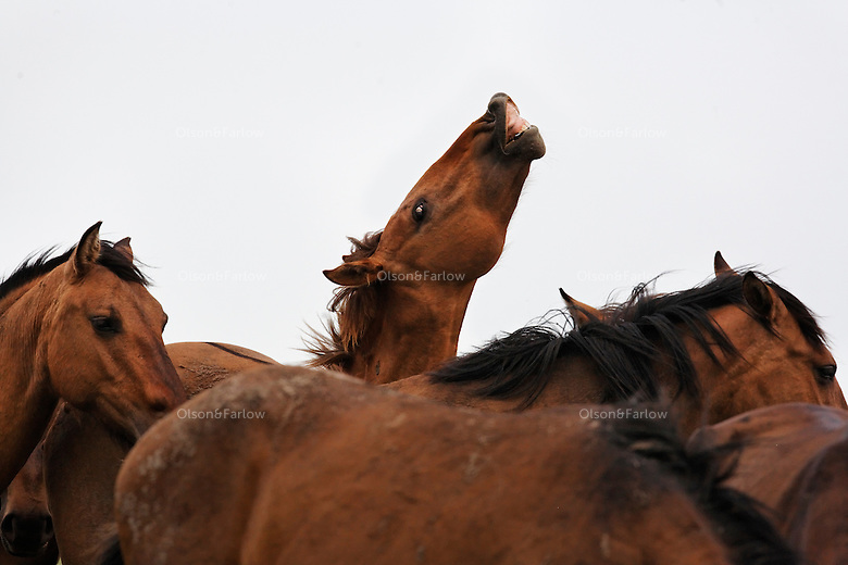 A young stud lifts his lip catching a whiff of a mare in heat in a mustang herd. Spring is foaling season for horses and males compete to breed.<br />