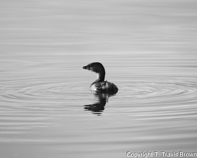 Lone Pied-billed Grebe Black and White
