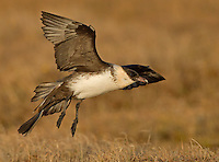 Adult pomarine jaeger in flight and about to land on the Alaskan tundra.<br />