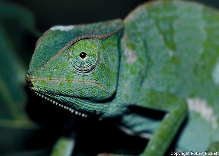 Green Chameleon, just shed skin, on leaf, West Africa