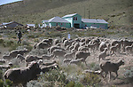The first truckload of sheep arrive in the hills along the western edge of Carson City on Thursday, April 17, 2014. About 1,000 ewes and lambs will be used in a four-week grazing program to help reduce cheat grass and other fire fuels. (Las Vegas Review-Journal/Cathleen Allison)