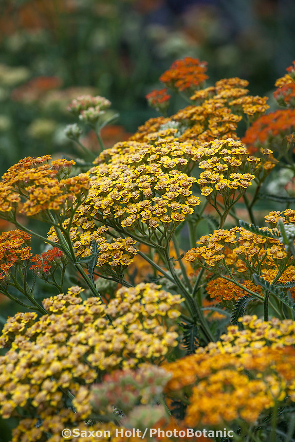 Achillea millefolium 'Terracotta', flowering drought tolerant perennial in California garden