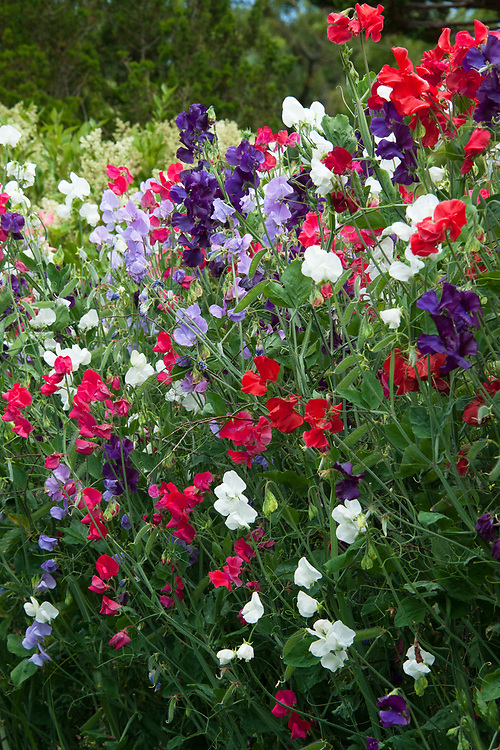 Sweet peas, Great Dixter, mid July.