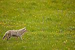 A single coyote hunts in a grassy field filled with small yellow flowers.