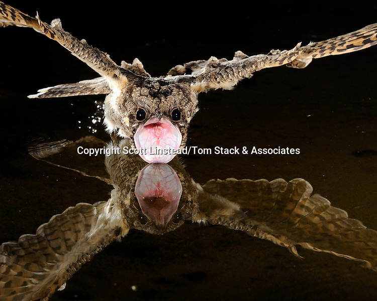 A common poorwill does not have the ability to swallow.  The bird must drink and eat in flight so as to allow its forward velocity to send the water or insects farther down into its digestive system.