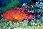 Cephalopholis miniata, Coral grouper, Raja Ampat, Indonesia