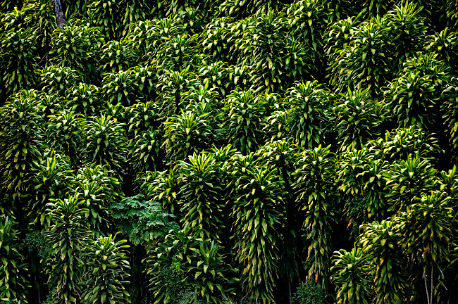 Bunches Of Ornamental Corn Plants Provide Privacy And Shade In Costa Rica.