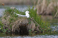 Mew Gull - Larus canus - breeding adult