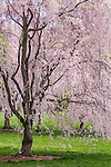 Cherry blossoms at the Arnold Arboretum in the Jamaica Plain neighborhood, Boston, Massachusetts, USA