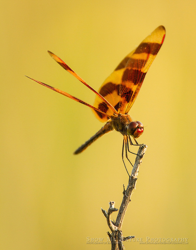 Halloween Penant, perched on a dead prairie stalk