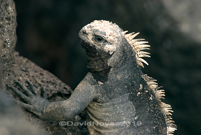 Found nowhere else on earth, marine iguana are the world's only sea lizards. Growing to nearly one meter, males feed on algae and are strong swimmers who can dive to a depth of 10m, and stay submerged for almost an hour. .